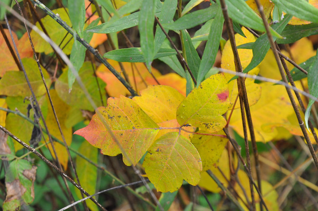 poison ivy easier to see in the Fall